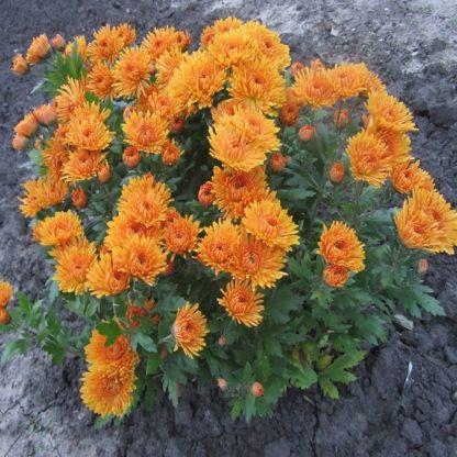 саженец Хризантемы Осеннее рандеву вид2