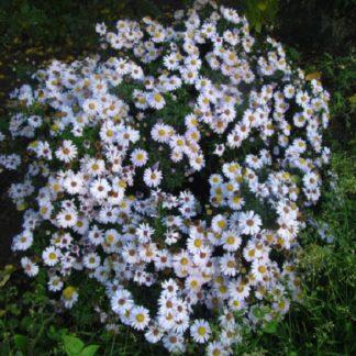 саженец Астра кустарниковая белая вид1