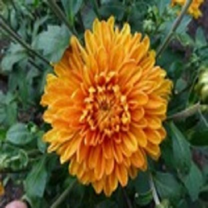 саженец Хризантема Золотой апельсин