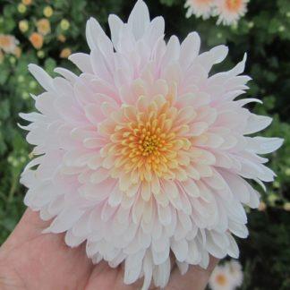 саженец Хризантема Яблоневый цвет вид1