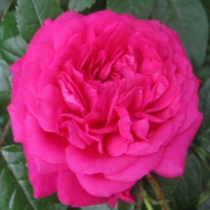 саженец Роза Лагуна вид1
