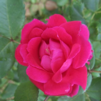 саженец Роза канадская Джон Дэвис вид1