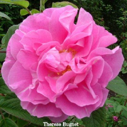 саженец Роза канадская Тереза Багнет