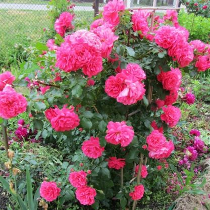 саженец Роза Розариум Утерсен вид2