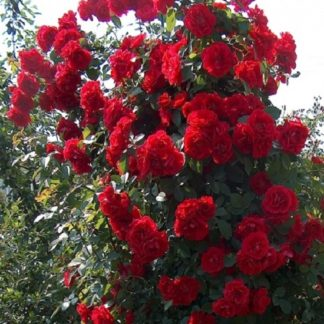 саженец Роза плетистая Фламентанз