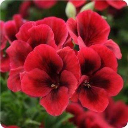 саженец пеларгонии Candy Flowers Bright Red