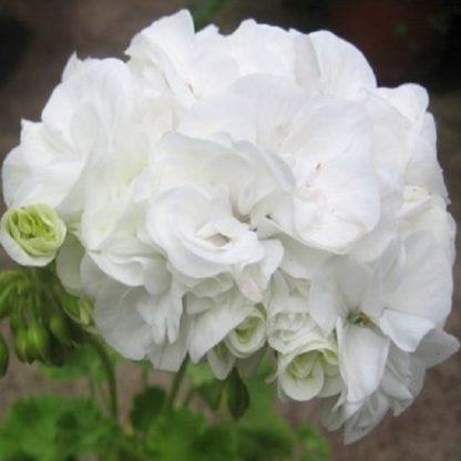 саженец пеларгонии Gardenia