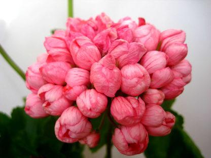 саженец пеларгонии Pink Pandora
