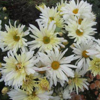 Саженец хризантемы Ромашка белая