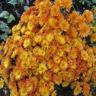 Саженец хризантемы Бич оранж