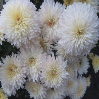 саженец хризантемы Ивона