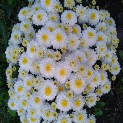 саженец хризантемы Эльф