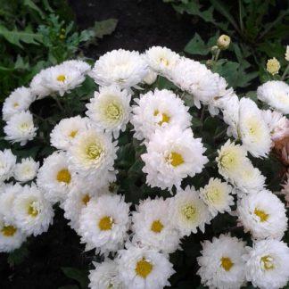 саженец хризантемы Касса Бланка