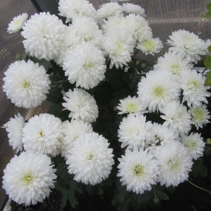 Саженец хризантемы Умка