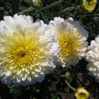 Саженец хризантемы Элен Вайт