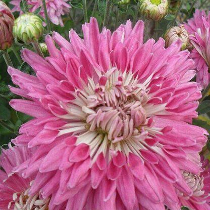 Саженец хризантемы Улыбка