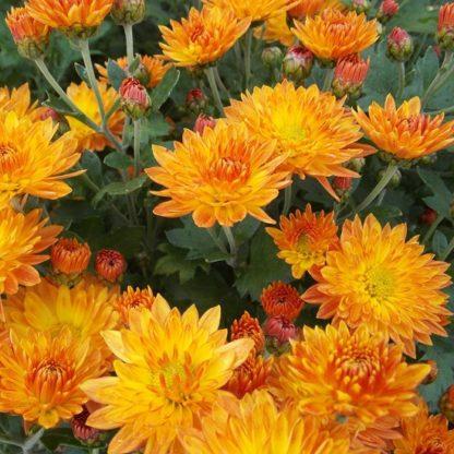 Саженец хризантемы Колобок