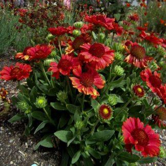 саженец Гайлардия крупноцветковая Меза Ред вид1
