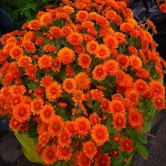 саженец хризантемы Мускулино Оранж