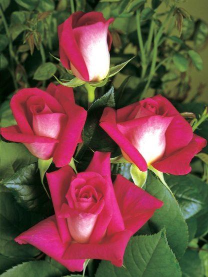 саженец розы Акапелла вид2