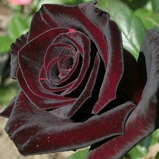 саженец розы Блэк Баккара