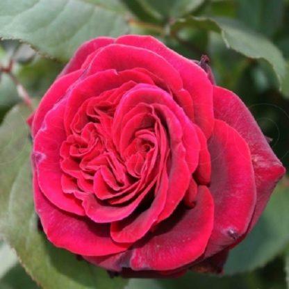 саженец розы Кларет