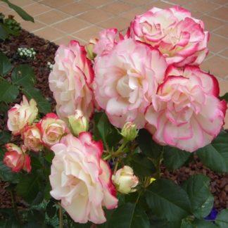саженец розы Роза Юбилей Принца Монако
