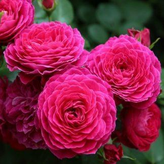 саженец розы Домейн де Ст