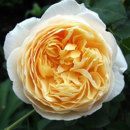 саженец Роза Шарлотта вид1