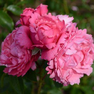 саженец Роза Миллами