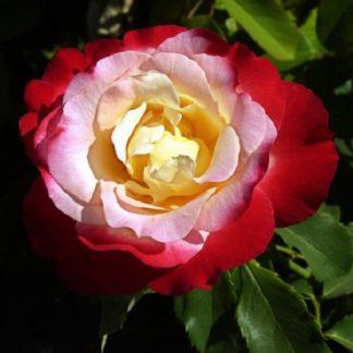 саженец Роза Двойное удовольствие