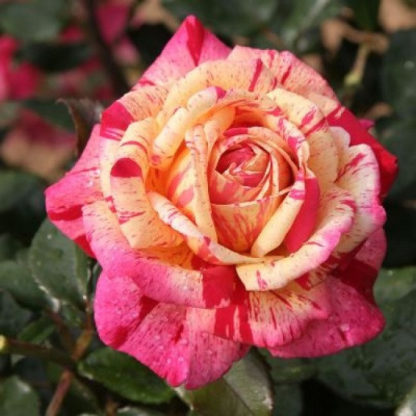 саженец Роза Броселианд