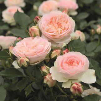 саженец Роза Пастелла вид1