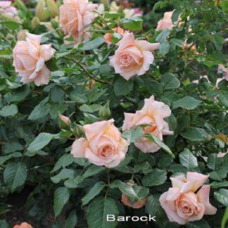 саженец Роза Барок