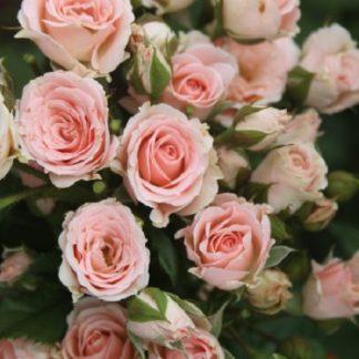 саженец Роза Лидия