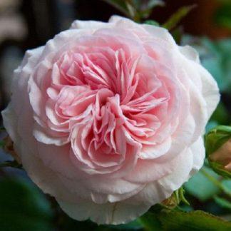 саженец Роза Мария Терезия