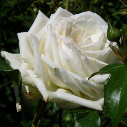саженец Роза Аляска вид1