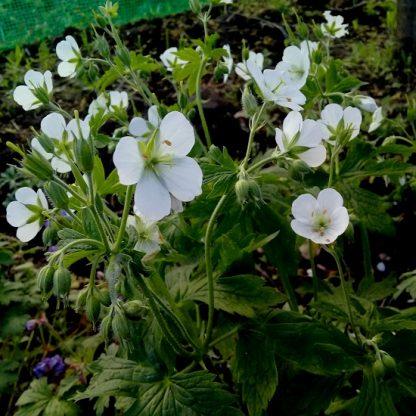 саженец Герань садовая белая вид2
