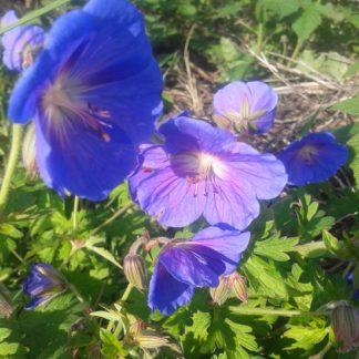 саженец Герань садовая голубая