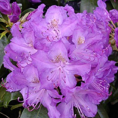 саженец Рододендрон гибридный Пурпуреум Грандифлорум