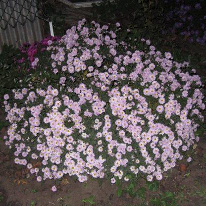 саженец Астра кустарниковая Розовая вид1
