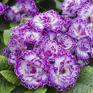 саженец Примула Belarina Lively Lilac вид1