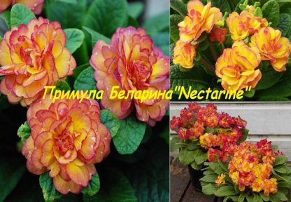 саженец Примула Беларина Nectarine вид1