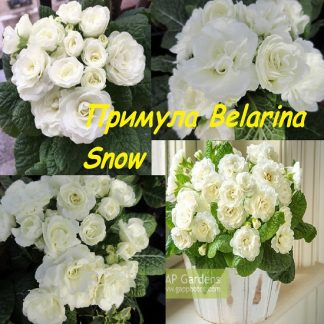 саженец Примула Belarina Snow