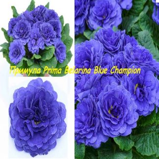 саженец Примула Belarina Blue Champion