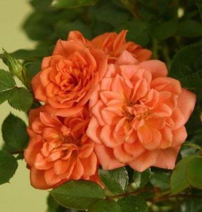 саженец Роза Нинетта вид2