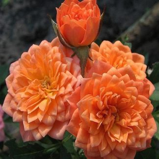 саженец Роза Нинетта