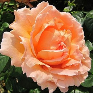 саженец Роза Полька-95 вид2