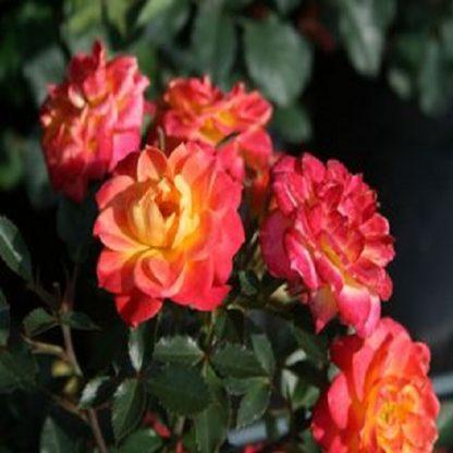 саженец Роза Мандарин вид1