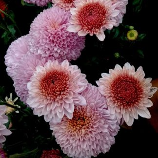 саженец Хризантема Розовые мечты